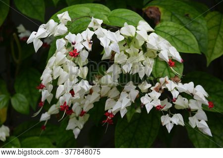 White Flowers Of Clerodendrum Thomsoniae Plant Commonly Known As Bleeding Heart Vine, Glory Bower Or