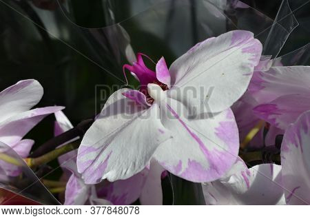 Close Up White And Dark Purple Phalaenopsis Orchid Flower In Full Bloom In A Garden Pot In A Sunny S