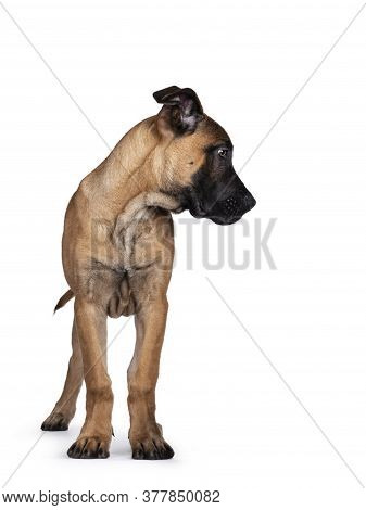Handsome Boerboel / Malinois Crossbreed Dog, Standing Facing Front. Head Turned Side Ways, Looking D
