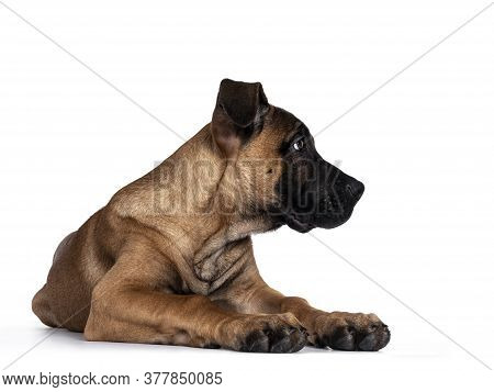 Handsome Boerboel / Malinois Crossbreed Dog, Laying Down Facing Front. Head Turned Side Ways, Lookin