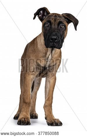 Handsome Boerboel / Malinois Crossbreed Dog, Standing Facing Front. Looking Curious To Camera With R