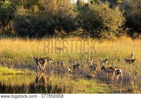 Group Of Chacma Baboon Monkey (papio Anubis) In African Savanna Go Drink From Water, Bwabwata Capriv