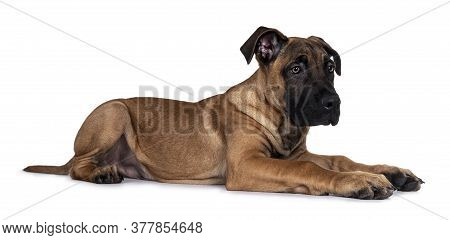 Handsome Boerboel / Malinois Crossbreed Dog, Laying Down Side Ways. Head Up, Looking Ahead With Mesm