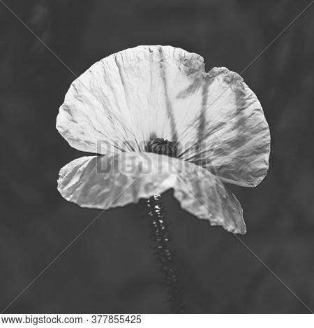 Bw Poppy Flower Growing In A Sunny Garden.