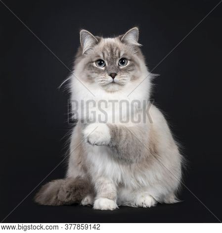 Pretty Neva Masquerade Cat Sitting Frontal. Looking Beside Camera With Light Blue Eyes. Isolated On
