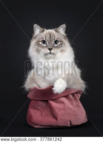 Pretty Neva Masquerade Cat Sitting Facing Front In Little Pink Velvet Bag. Looking Straight At Camer