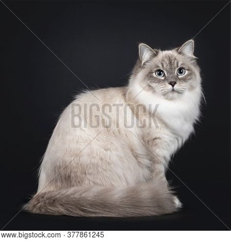 Pretty Neva Masquerade Cat Sitting Side Ways With Tail Around Body. Looking Beside Camera With Light