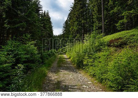 Forest Street, Gravel Footpath In Coniferous Woodland