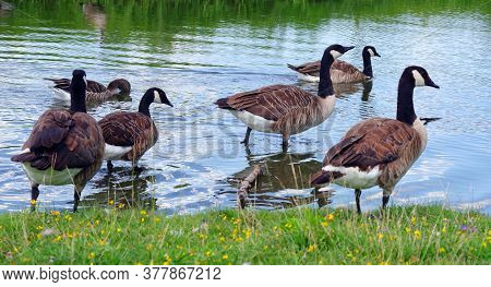 Wild Geese On The Lake. Geese By The Pond