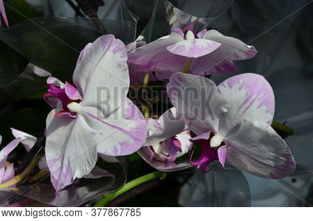 Close Up White And Dark Purple Phalaenopsis Orchid Flowers In Full Bloom In A Garden Pot In A Sunny