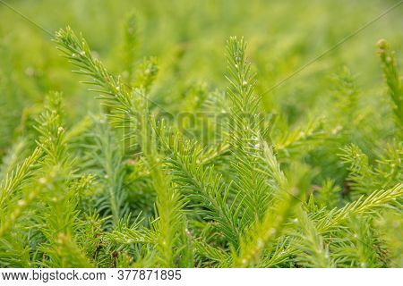 Green Sprigs Of Spruce. Natural Background, Texture. High Quality Photo
