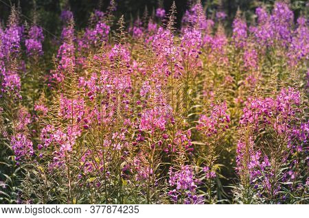 Chamaenerion Angustifolium, A Fireweed Blooming In The Meadow. Meadow Flowers Close Up.