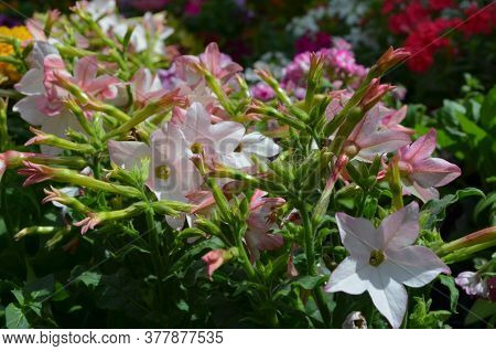 Many Delicate Vivid Pink And White Flowers Of Nicotiana Alata Plant, Commonly Known As Jasmine Tobac