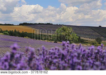 France, Landscape Of Provence: Lavender Field, Plateau Valensole