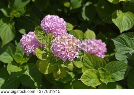 French Hydrangea - Latin Name - Hydrangea Macrophylla