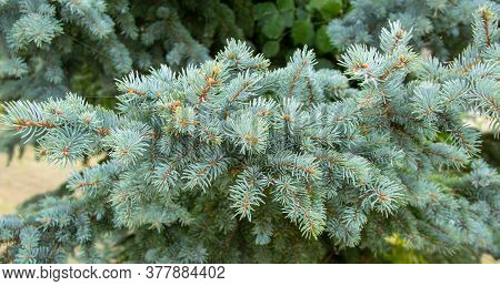 Picea Pungens Evergreen Coniferous Tree. Beautiful Branches Of Blue Spruce