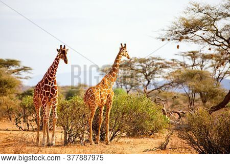 Samburu special five Reticulated giraffes in national reserve in Kenya