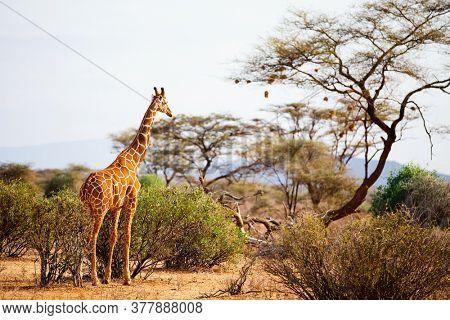 Samburu special five Reticulated giraffe in national reserve in Kenya