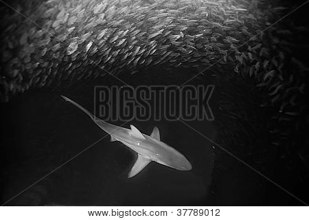 black tip reef shark feeding off sardines