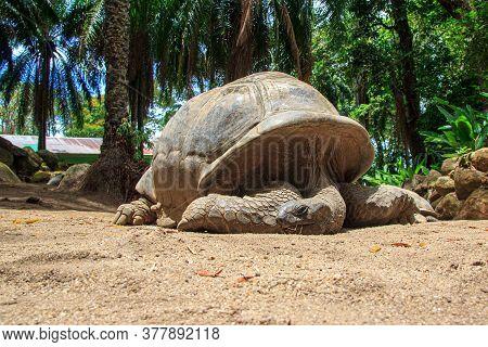 Giant Turtles, Dipsochelys Gigantea In Island Seychelles. Close Up Of Big Seychelles Turtle. Concept