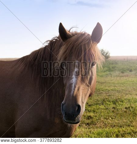 Portrait Of A Brown Horse Close-up In Nature. Red Conb With A Long Mane On The Pasture In The Evenin