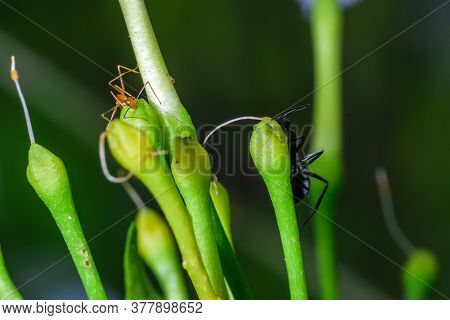 A Pharaoh Ant And A Carpenter Ant Apparently Playing Hide And Seek In Garden