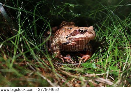 In France, This Type Of Frog Behaves Like A Delicacy - Frog Legs. Here In The Czech Republic, We Onl