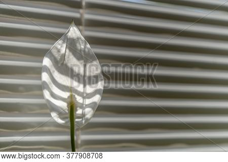 White Flower On Striped Background With Copy Cpace At Right. Spathiphyllum Backlit Sunlight Against