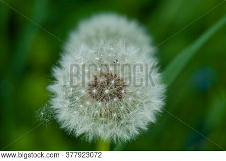 A Closeup Shot Of A Common Dandelion Under The Sunlight