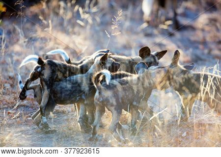 Endangered animals African wild dogs puppies in safari park in South Africa