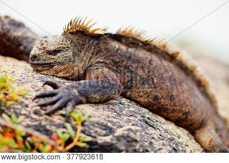 Portrait of male marine iguana, endemic of Galapagos islands, Ecuador