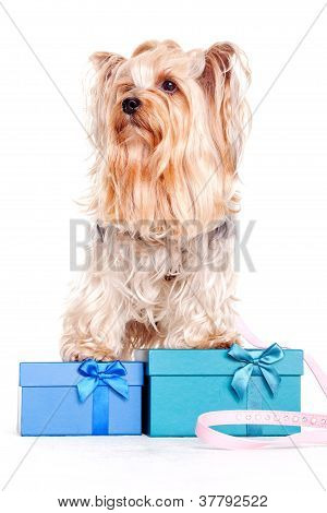 yorkshire terrier with gift boxes