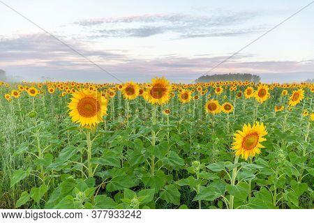 Sunflower Field Landscape Close-up. Summer. Selective Focus