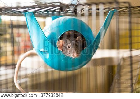 Two Rats In A Fully Equipped Two-storey Rat Cage.grey White Rat With A Wooden House. Home And Comfor
