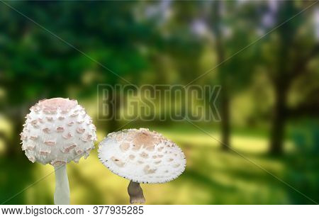 Poison Flu In The Forest. Poisonous Mushrooms White Fly Agaric In Outdoor Blurred Background.