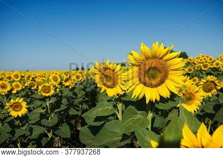 A Blooming Sunflower Field In The Field Grows In Rows. Farmland In The Morning Sun Against The Blue