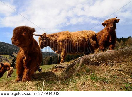 Scottish Highland Cattle Young Animals Grazing On A Pasture In The Summer