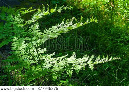 Fern Leaves In A Beam Of Light. A Fern Branch In A Forest Glade. Green Leafy Background. Abstract Im