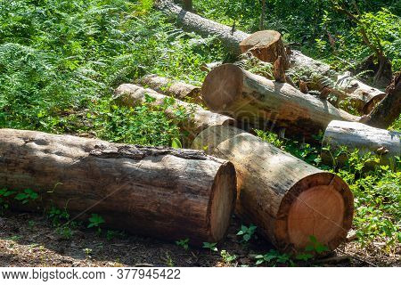 A Pile Of Logs Piled Up In A Forest Glade. Felled Trees In The Forest. Planned Deforestation.