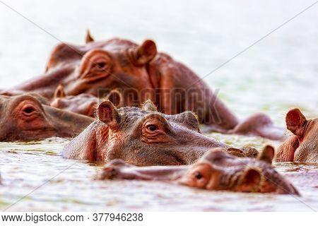 Many Large Hippos Swim Along The River. Kenya National Park. Wild Nature.