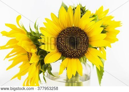 Yellow Sunflower On A White Background. Sunflower Natural Background. Blooming Sunflower. Isolate. C