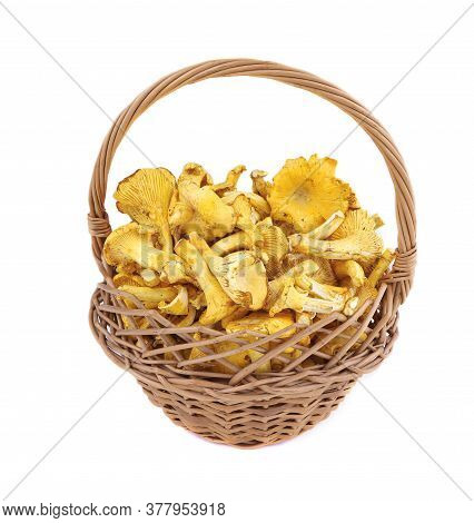 Edible Mushrooms In The Basket Isolated. Chanterelle Cibarius Isolared On A White Background. Agaric