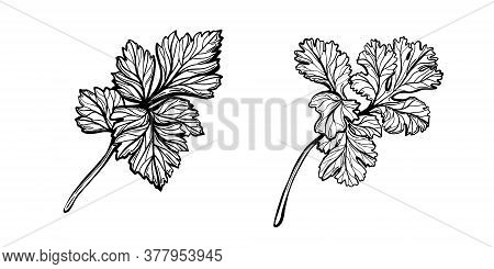 A Sprig Of Parsley Isolated On A White Background