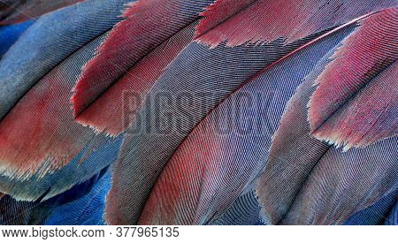 Pink And Blue Natural Background. Plumage Of A Crane Close-up. Feathers Birds Texture Background. Se