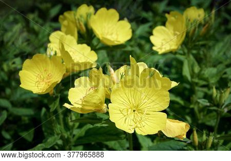 Close Up Yellow Oenothera Flowers (evening-primrose) In Garden. Selective Focus