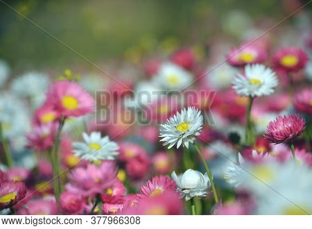 Spring Background Of A Flower Bed Of Australian Pink, Yellow And White Everlasting Daisies. Selectiv