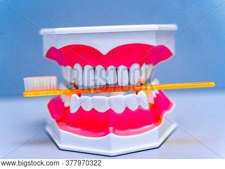 Educational Model Of Jaw With Teeth. Toothbrush In Artificial Jaw. Blue Color Background. Dentistry