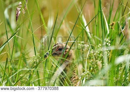 A Pheasant Bird Head, Stands On A Meadow In The Middle Of Field Flowers And Grass. Seen From Behind
