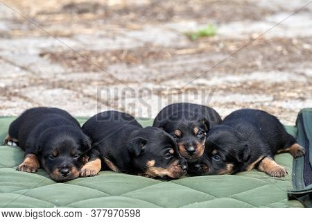 Jack Russell Terrier Puppies. Close-up Portrait, Lie On A Green Cloth