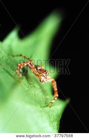 Stripes Spider On Green Leaf